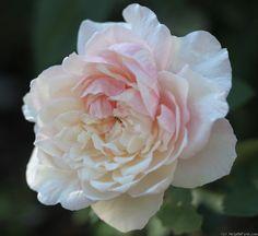 'Madame Cornélissen' Rose Photo