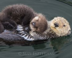 Tiere BABY SEA OTTER and Mom Photo Baby Animal Nursery Art Print Animal Nursery Decor Baby Animal Photo Animal Wall Art Sea Otter Pup Photo animals Animal art baby baby animals adorable decor Mom nursery otter Photo print Pup sea Tiere Wall Cute Baby Animals, Animals And Pets, Funny Animals, Nature Animals, Colorful Animals, Mother And Baby Animals, Animals Kissing, Smiling Animals, Animals Sea