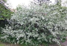 Marjaomenapensas (Malus toringo var. sargentii) Mustilan kartanon puutarhassa toukokuussa 2014. Bukettapel in Mustila gårdens trädgård i maj 2014. #mustila