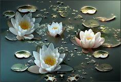 Nenúfar: La flor sagrada