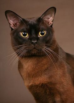 What a beautiful Burmese kitty don't you think?