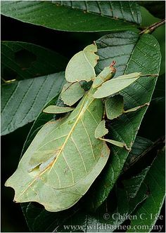 Gray's leaf insect (Phyllium bioculatum) is a leaf insect native to west Malaysia. Leaf insects have extremely flattened, irregularly shaped bodies, wings, and legs. They are usually about 2–4 inches long long. They are called leaf insects because their large, leathery forewings have veins that look similar to the veins on the particular type of leaves they inhabit.
