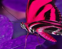 Pink Fuschia butterfly, 2 of my favorite things!