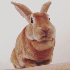 #とっとまん  オオバコおいち #tatertot #bunny #rabbits #うさぎ #ミニレッキス #minirex #ilovemybunny #bunnylover #rabbitsofinstagram by tater_totman