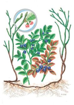 Brusnice borůvka - Tipy do lesa - Vojenské lesy a statky dětem Rooster, Clip Art, Drawing Trees, Drawings, Water Cycle, Garden, Painting, Animals, Garten