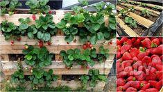 Čisté jahody: pěstování   Prima nápady Balcony Garden, Garden Plants, Home Design Decor, House Design, Tahiti, Garden Inspiration, Houseplants, Projects To Try, Strawberry