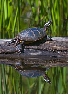 Eastern Painted Turtle - photo by Mark Picard