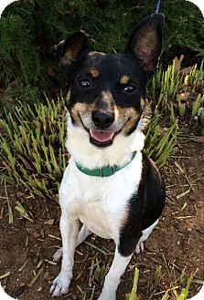Jack Russell Terrier Mix Dog for adoption in Corona, California - Julius