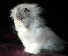 Sweetharmony's Dirty Dynamite, PER Dilute Calico (direct Chocolate carrier), born 26th August 2015