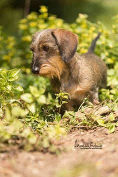 Beautiful wire-haired doxie
