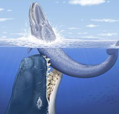 Prehistoric Hyper-carnivorous Whale?!  by Sid Perkins, Science News  What would you get if you crossed a whale with a shark? Maybe something like Leviathan melvillei, a long-extinct, hypercarnivorous whale with teeth longer than any T. rex ever had.   L. melvillei — a newly described sperm whale named to honor Herman Melville, author of the whaling novel Moby-Dick — lived between 12 million and 13 million years ago, says Olivier Lambert, a vertebrate paleontologist at the National Museum of N...