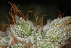 Harvest Cannabis Like A Pro With These 5 Simple Steps