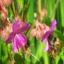 5 plantas que atraen abejas a tu huerto o jardín ecológico ecoagricultor.com