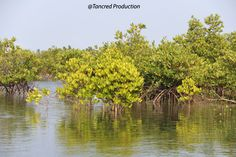 That doesn't sound at all convincing whether you are standing at the foot of canopy giant in Berau, Indonesia, or indeed on the margins of straggly community of mangrove shrubs in the desert margins of the Middle East.