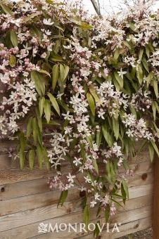 Monrovia's Apple Blossom Clematis details and information. Learn more about Monrovia plants and best practices for best possible plant performance.