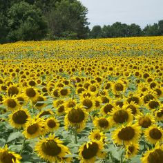 Sunflower Fields in Nebraska... photo from Faithfulness Farm: August 2010