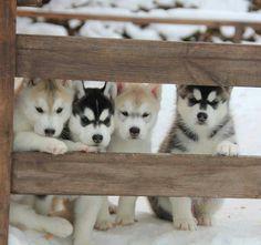 Huskey puppies