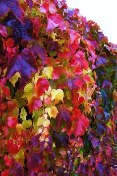 Boston Ivy.  Virginia Creeper will give you the same result if you can't find Boston Ivy.  Although they are usually offered in the same department at most larger nurseries.