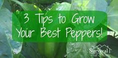 3 Tips to Grow Your Best Peppers - Survival at Home