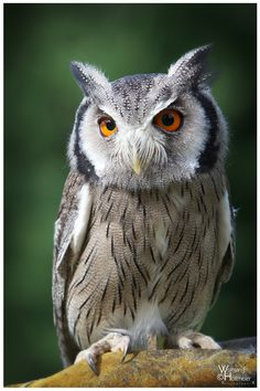 ~~White Faced Owl 'Barny' by *W0LLE~~