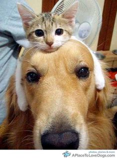 Golden Retriever with a kitten hat    Hummmmm