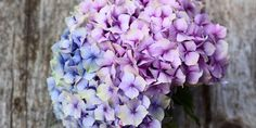 In shades of blue and purple, these hydrangea are beautiful!