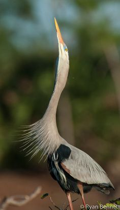 Despite their size, Great Blue Herons weigh only about 5-6 lbs., in part due to having hollow bones