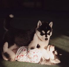 """culturenlifestyle: """" Adorable Husky Puppies Are Dressed Up in Human Clothes Although photographer Erica Tcogoeva doesn't own a dog, it didn't's stop her from staging photographs with Husky puppies. By..."""