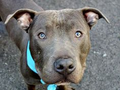 SAFE --- TO BE DESTROYED 4/11/14 Manhattan Center -P  My name is SEVERUS. My Animal ID # is A0995853. I am a male gray and white pit bull mix. The shelter thinks I am about 2 YEARS   I came in the shelter as a STRAY on 04/06/2014 from NY 10472, owner surrender reason stated was STRAY.  https://www.facebook.com/photo.php?fbid=784976841515197&set=a.617938651552351.1073741868.152876678058553&type=3&permPage=1