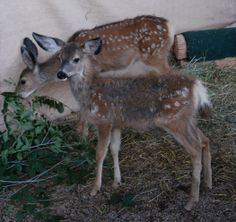 mule deer fawns, going through coat change from baby spots to adult coat