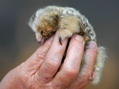 """Baby Silky Anteater - The smaller relative of the more famous giant anteater lives in the rainforests of Mexico, Central, and South America. They are nocturnal and arboreal, and shyly avoid most of their predators. If cornered, however, they pack a mean punch with those little claws."""
