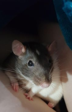 Gorgeous girl! #aww #cute #rat #cuterats #ratsofpinterest #cuddle #fluffy #animals #pets #bestfriend #ittssofluffy #boopthesnoot