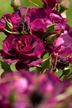 "Rosa ""Mysteriense"" - Rose"