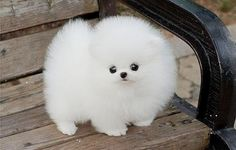 It's a puffy dog!!!!