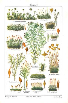 aycarambas: Mosses