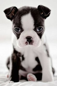 Beautifully marked - what a face!  (Boston Terrier - puppy). #BostonTerrier