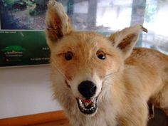 . Bad Taxidermy, Goats, Corgi, Fox, Animals, Corgis, Animales, Animaux, Animal