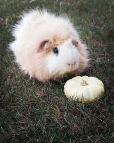 Guinea Pigs make great pets. More