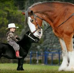 Clydesdale meeting a new friend. Big horse little horse.