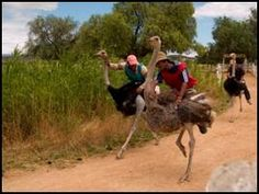 Ostriches about to hit a speed wabble, haha!