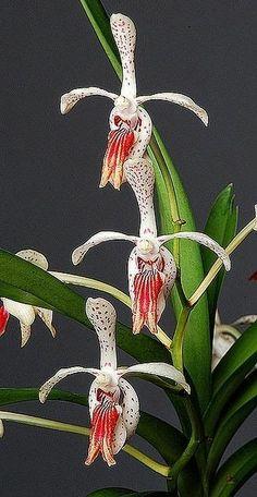 Orquídea exotique Vanda suavis x vanda cristata