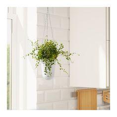 299р MUEHLENBECKIA Растение в горшке  - IKEA