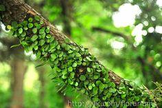 Lemmaphyllum microphyllum http://fern.la.coocan.jp/Polypodiaceae/Lemmaphyllum%20microphyllum/Lemmaphyllum%20microphyllum.htm
