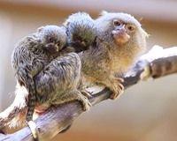 #Dwergzijdeaapje met kindjes. Godverdomme wat #cute.Worden maar zo'n 16 centimeter groot en wegen ongeveer 100 gram.