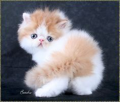 That face!! persian kitten