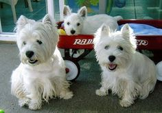 westies and their puppy