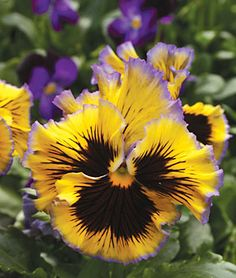 Pansy - Autumn Frills -  sports frilly yellow blooms highlighted with dark purple picotee edges.