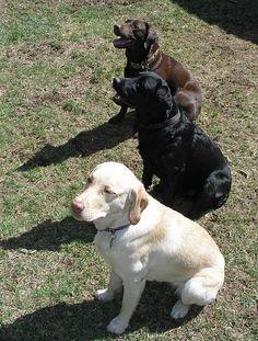 Chocolate Labrador, Black Labrador, and Yellow Labrador