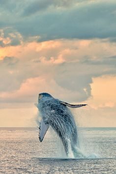 Humpback Whale breaching at sunrise, Maui, Hawaii, by L. Wayne Hancock