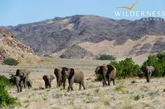 Doro Nawas Camp - it is amazing how such a barren and dry landscape can be home to elephant. The Doro Nawas area is home to a good number of desert adapted elephant with the two most common herds being the Oscar and Rosie Herd.